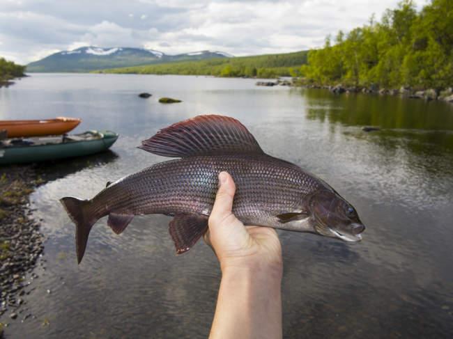 Beragam Nutrisi dan Manfaat Ikan Air Tawar untuk Kesehatan