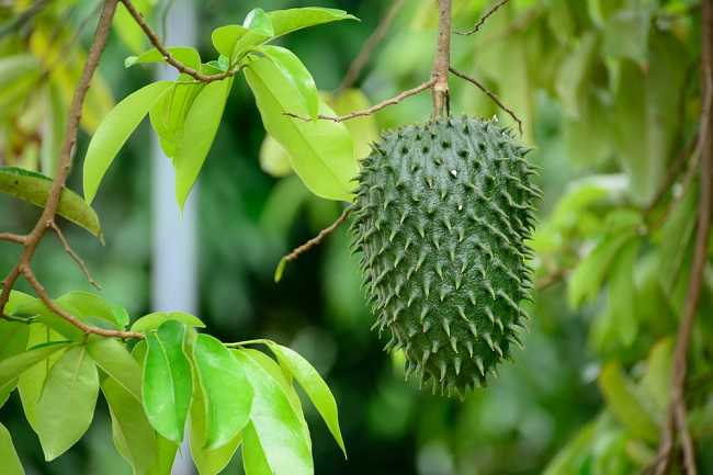 Soursop leaves for cancer treatment
