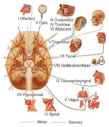 Training.seer.cancer.gov_-_illu_cranial_nerves1 (1)