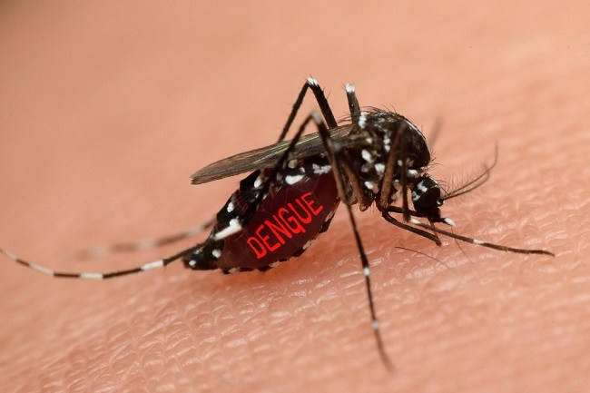aedes aegepty