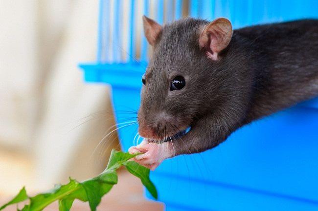 Inilah Alasan Mengapa Anda Butuh Pengusir Tikus Alami - Alodokter