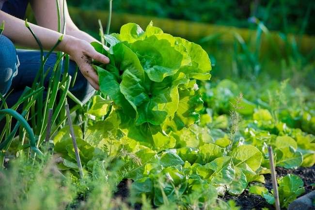 Lalu Apa Perbedaan Sayur Organik dengan Sayur Non-organik?