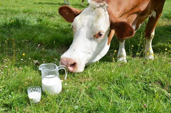 Kenali Susu dari Sapi A2, Sapi Baru yang Dipercaya Menghasilkan Susu yang Lebih Sehat - Alodokter