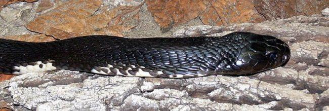 Gambar 1 Kobra Naja siamensis (Source : Haplochromis, Wikimedia commons, 2006)