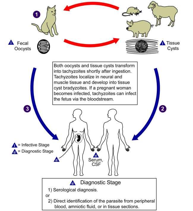 Siklus Hidup Toxoplasma gondii. Sumber: AJ da Silva, M Moser, PHIL CDC, 2002.
