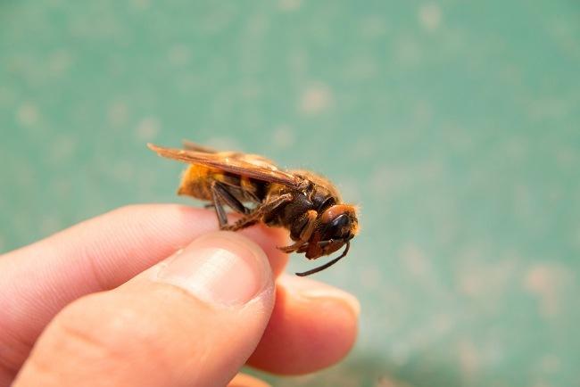 Mengenali Serangga Berbahaya dan Cara Mengatasi Sengatannya