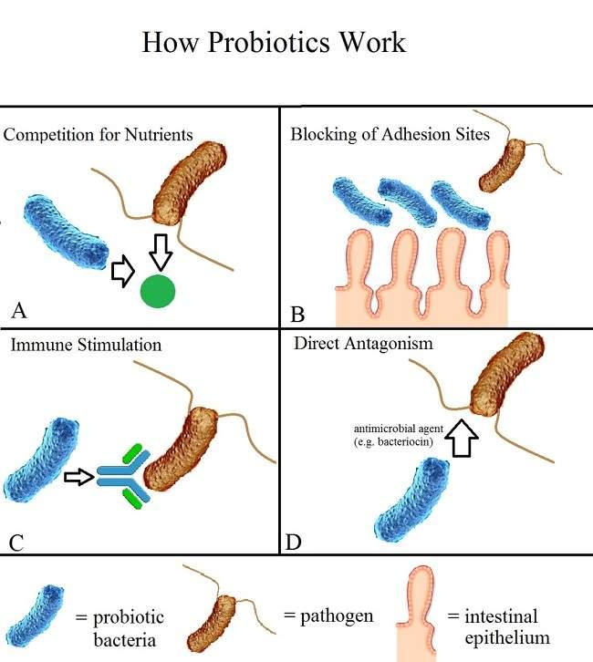 Gambar 1. Mekanisme Kerja Probiotik, Sumber: Rachelshoemaker, Wikimedia Commons, 2016
