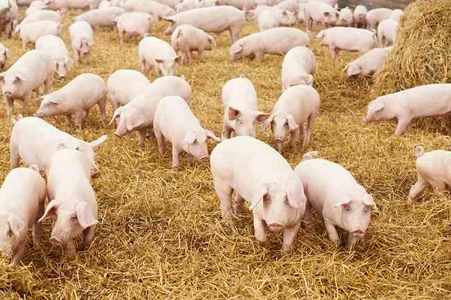 Sebelum Panik, Yuk, Ketahui Apa Itu Flu Babi Afrika - Alodokter