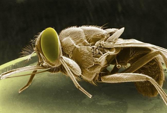 Lalat Tsetse, Serangga Penyebab Penyakit Tidur - Alodokter
