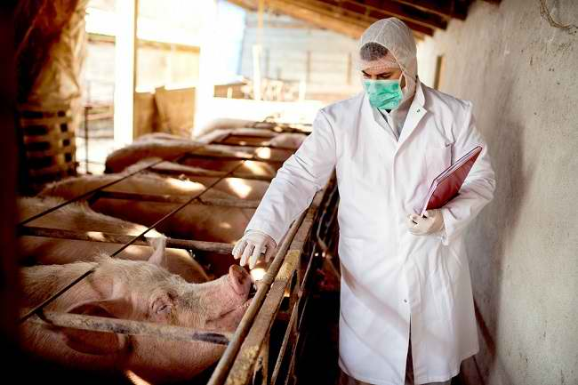 Waspada Virus G4, Virus Flu Babi Jenis Baru yang Berpotensi Menjadi Pandemi - Alodokter