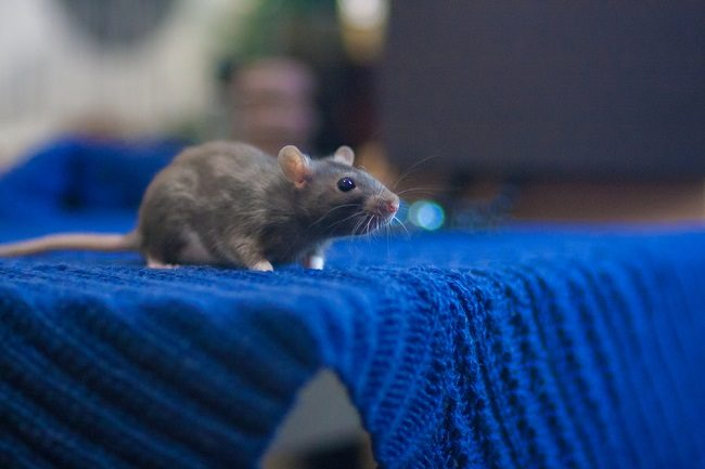 Kenali Bahaya dan Pertolongan Pertama pada Luka Gigitan Tikus - Alodokter