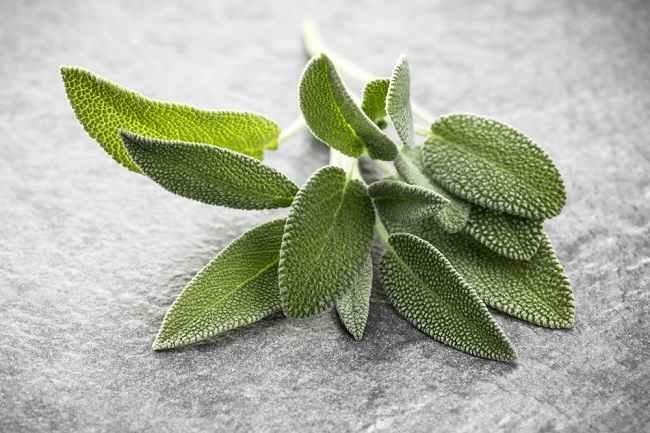 Mengetahui Kandungan dan Manfaat Daun Sage bagi Kesehatan - Alodokter