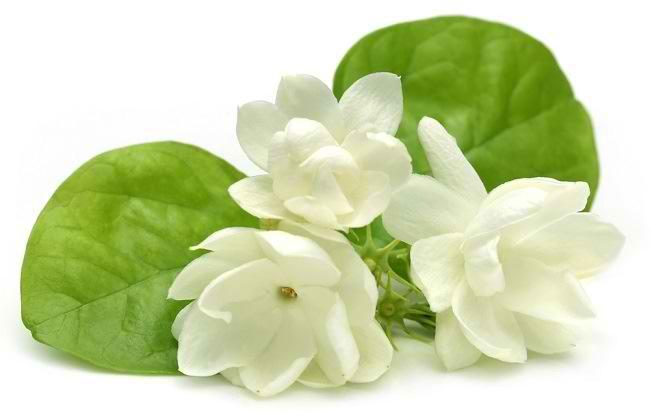 Memetik Manfaat Bunga Melati bagi Kesehatan dan Kecantikan - Alodokter