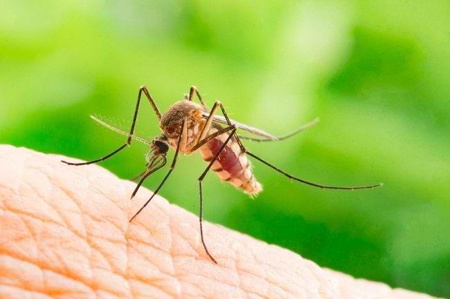 Memahami Daur Hidup Nyamuk sebagai Langkah Pencegahan Penyakit - Alodokter