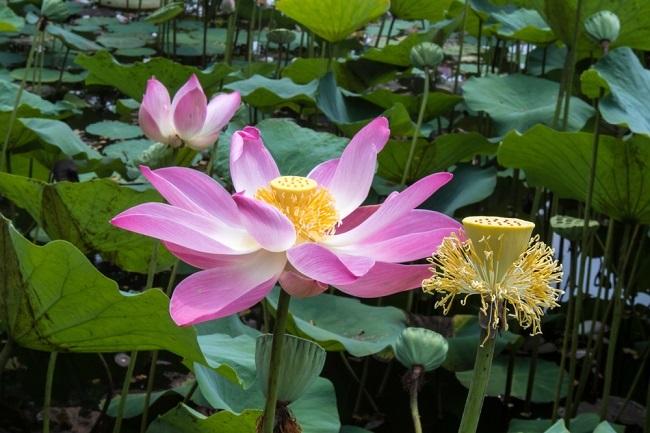 Manfaat Bunga Teratai untuk Kesehatan - Alodokter