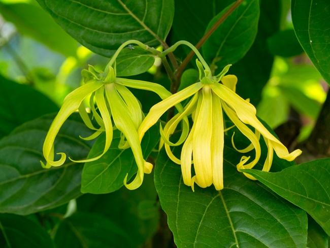 Manfaat Bunga Kenanga untuk Kesehatan - Alodokter