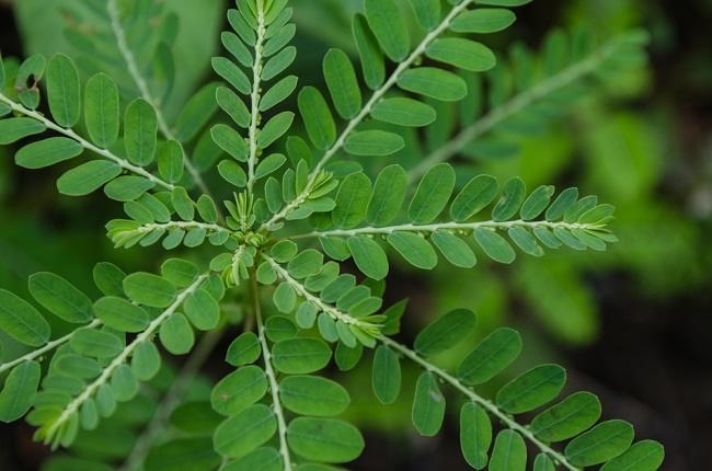 Inilah Tanaman Herbal yang Dapat Meningkatkan Daya Tahan Tubuh - Alodokter