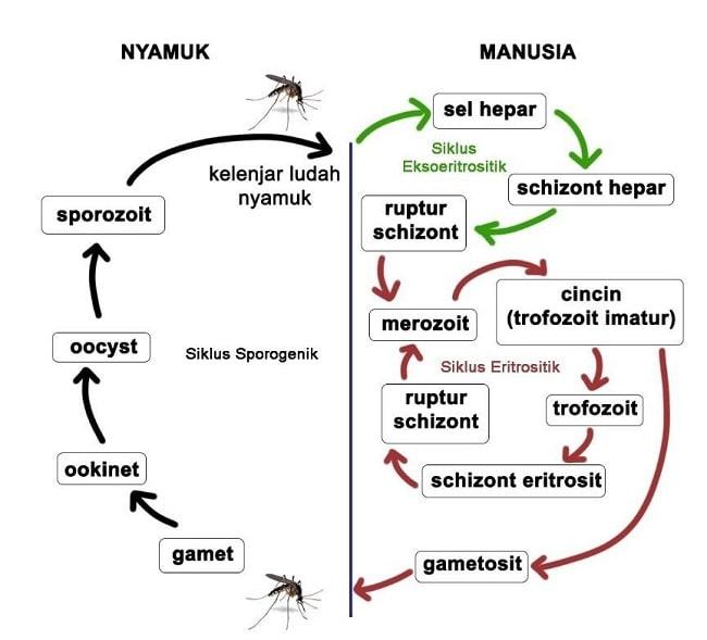 malaria - dr. saphira-min