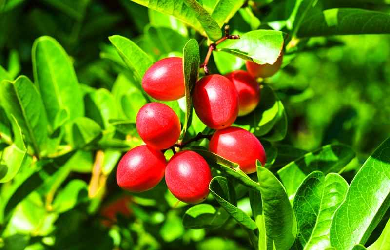 Miracle Fruit, Si Buah Unik yang Berkhasiat Tinggi - Alodokter