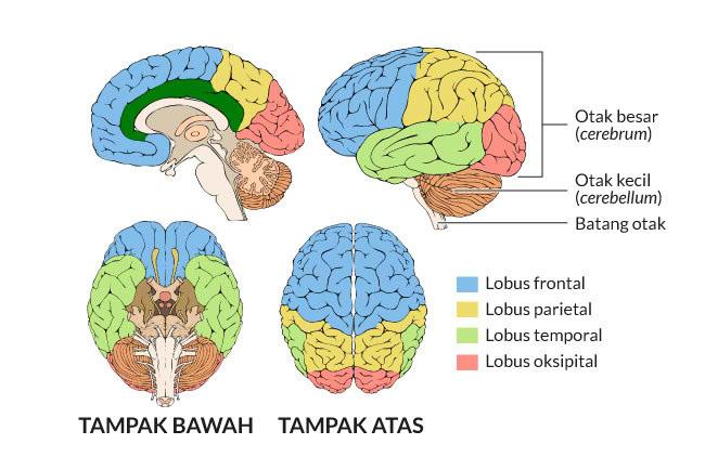 Ketahui Fungsi Otak Kiri dan Otak Kanan - Alodokter
