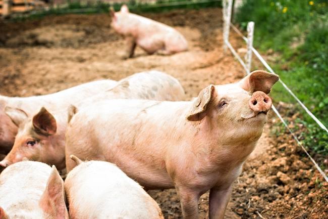 Benarkah Virus Babi Hog Cholera Bisa Menular ke Manusia? - Alodokter
