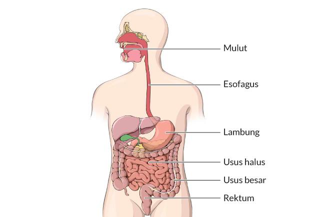 Ketahui Proses Pencernaan Makanan dan Penyerapan Nutrisi di Dalam Tubuh - Alodokter
