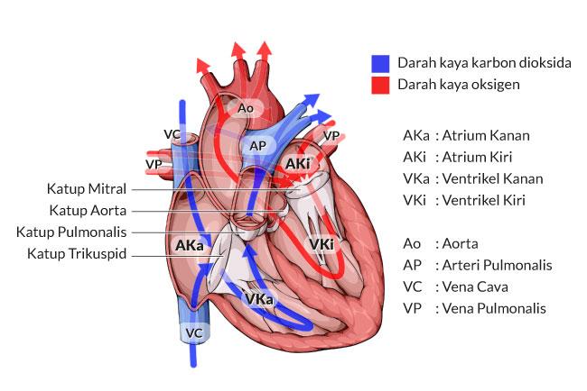 Menilik Anatomi Jantung dan Cara Kerjanya - Alodokter