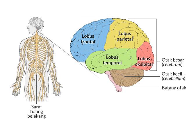 35+ Jika seseorang mengalami cedera pada otak dapat mempengaruhi sistem ideas