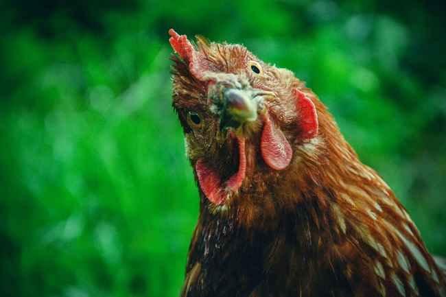 Memahami Alektorophobia, Fobia terhadap Ayam - Alodokter