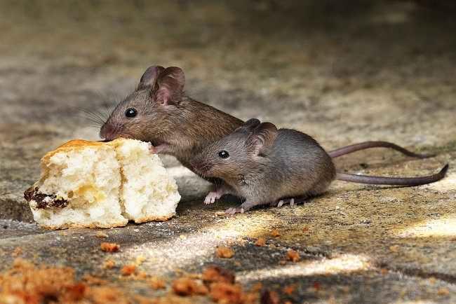 Pentingnya Mengusir Tikus untuk Mencegah Berbagai Penyakit - Alodokter