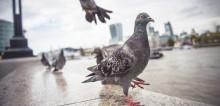นกพิราบ พาหะนำโรคร้าย ตัวอันตรายที่ควรหลีกเลี่ยง