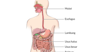Seperti Apa Proses Pencernaan dan Penyerapan Makanan di Dalam Tubuh?