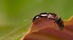 แมลงก้นกระดก มีพิษร้าย อันตรายจริงหรือ ?