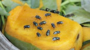 แมลงวัน พาหะนำเชื้อโรคกับวิธีกำจัดอย่างเหมาะสม