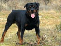 Características físicas Es un perro de talla superior a la media, de cuerpo muy musculoso, ligeramente más largo que alto, compacto, vigoroso, que da impresión de fuerza, elasticidad y resistencia.…
