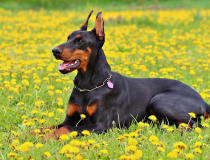 Orígenes e historia La raza nació entre 1850 y 1870 en Apoid, Turingia, por obra de un recaudador de impuestos Federico Luis Dobermann, que deseaba un perro de defensa diferente…