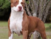 American pitbull terrier/Estados Unidos