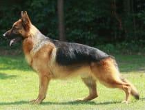 Perro de pastor alemán/Alemania