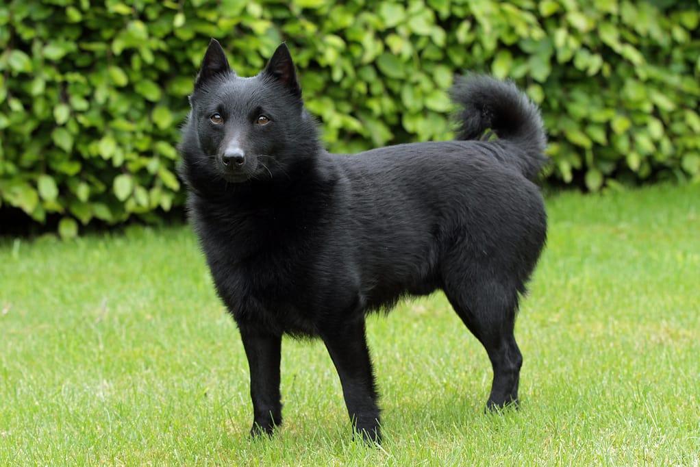 perro schipperke negro