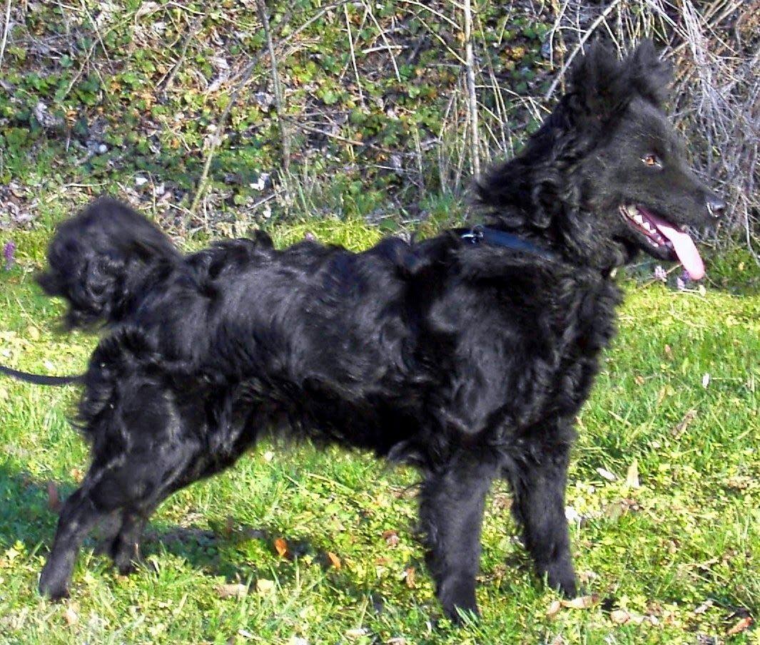 Perro de pastor croata o hravtski negro pelo brilloso