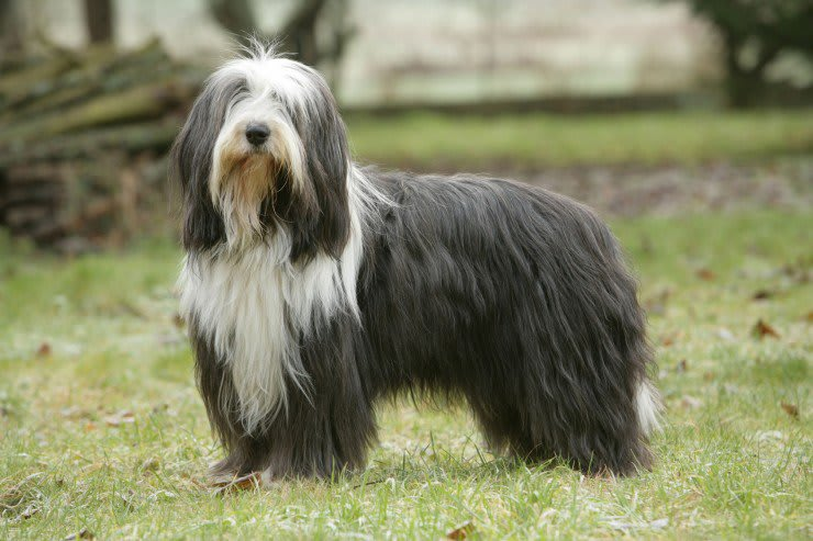 perro bearded collie negro blanco perfil mirando