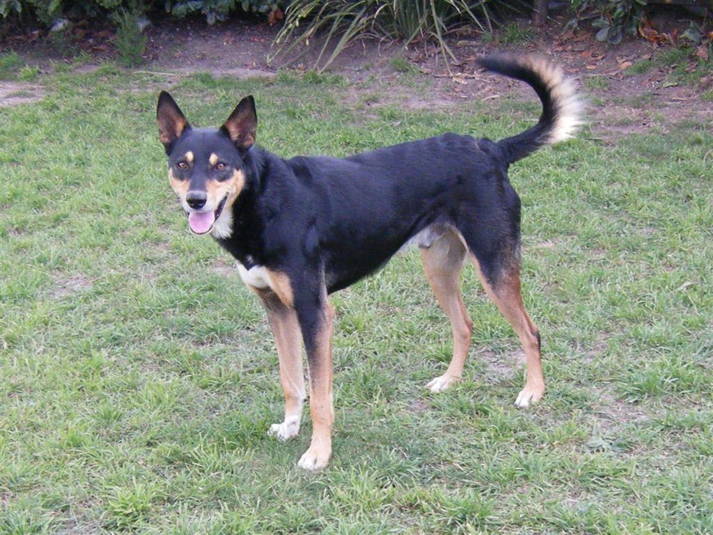 perro pastor kelpie colores del doberman pero con cola larga
