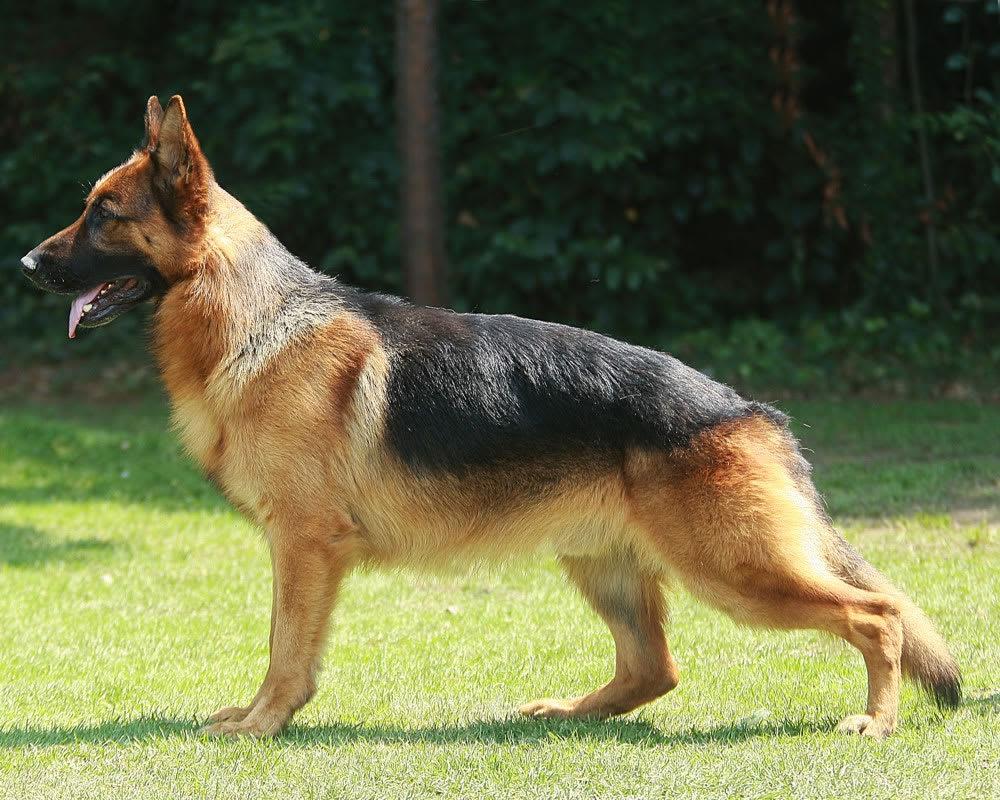 Perro pastor alemán estandar café negro
