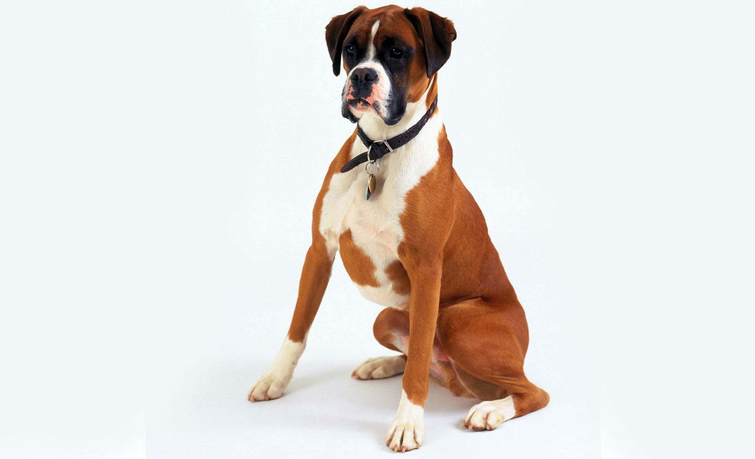 perro boxer sentado pecho y patas blancas mirando al frente