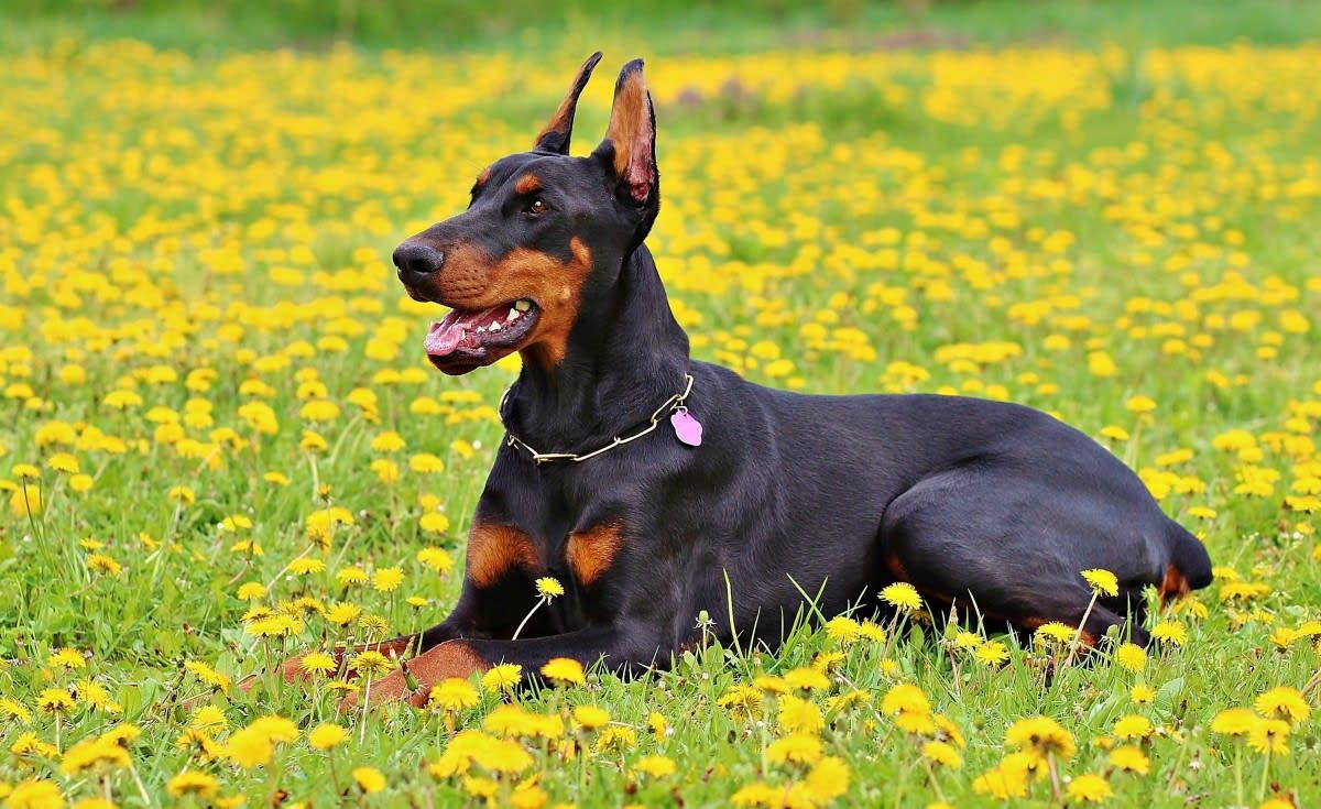 perro doberman alemán negro macho recostado gras