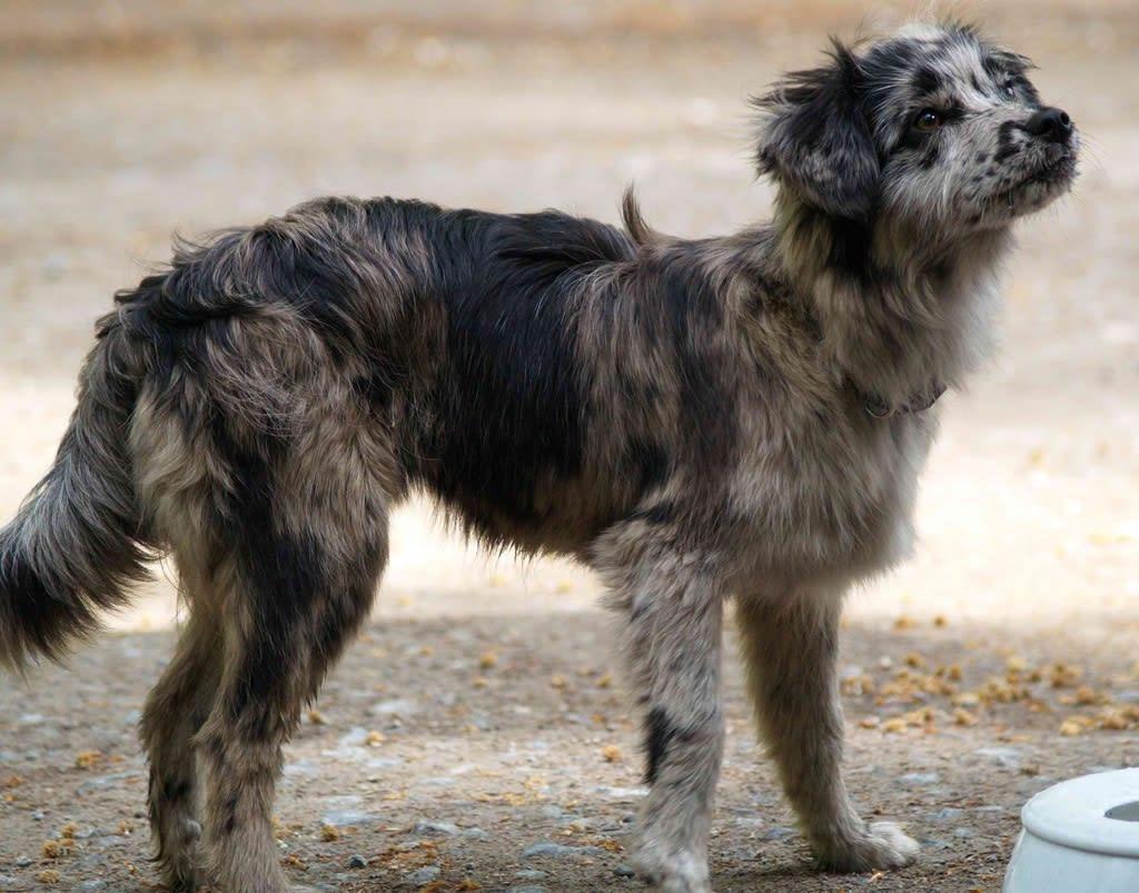 Perro de pastor de los Pirineos parado gris con negro peludo