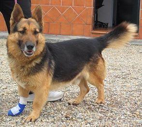 perro pastor alemán enano marrón con negro patas cortas