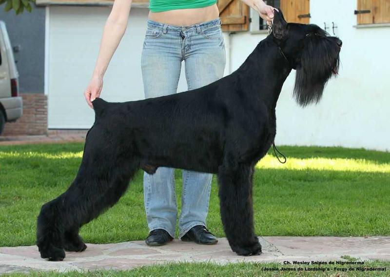 Schnauzer gigante grande negro perfil