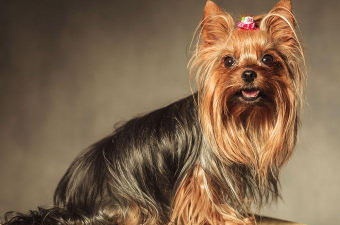 perro yorkshire terrier caramelo negro perfil mirando