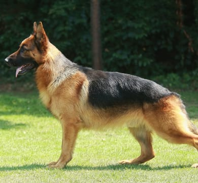 Perro de pastor alemán / Alemania